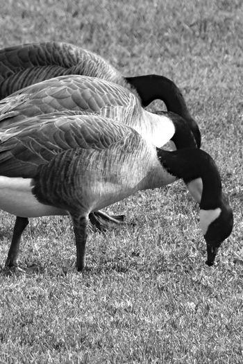 Eating In Unison Animal Themes Animals In The Wild Bird Black And White Close Up Close-up Day Domestic Animals Field Grass Nature No People Outdoors Row Of Animals Three Birds In A Row