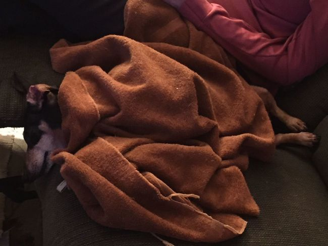 I thought this was too cute not to share. Sofa Indoors  No People Close-up Dog Dachshund