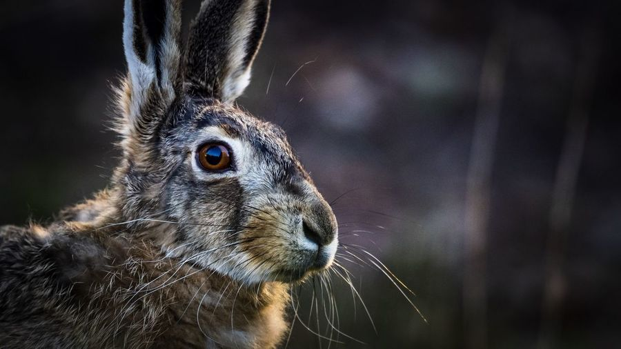 Close-up of a hare