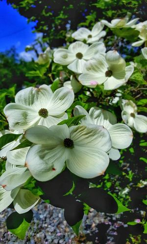 Dogwood Blooms . Amour Photographies Dogwood Blossom Dogwood Dogwood Tree Dogwood Blooms Blooms Blossom Blooming Flower Up Close And Personal Flower Porn Earth Porn Lake Cowichan Vancouver Island Beautiful British Columbia Canada Flower Photography Explore Canada  Island Life Simple Photography Connecting To Earth Outdoor Life Explore More Beautiful