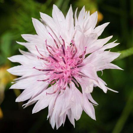 Flower Pink Color