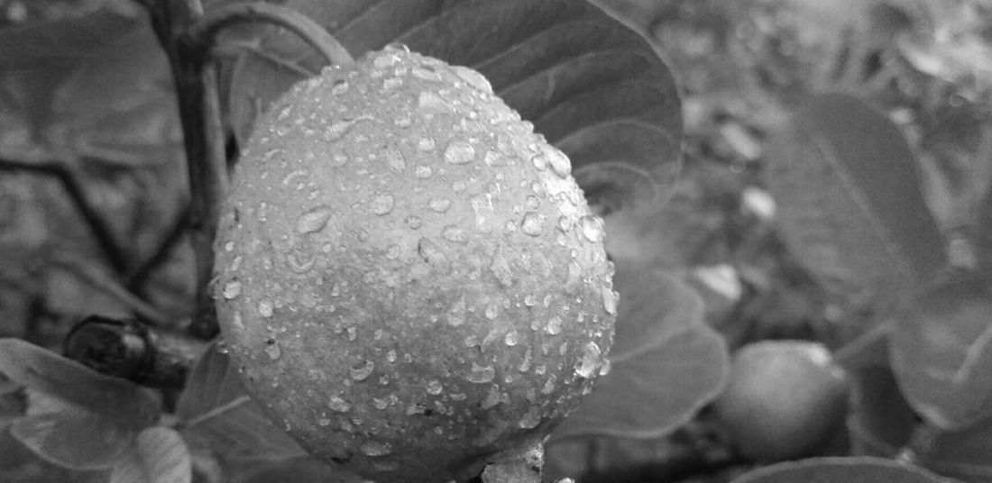 Raindrops Blackandwhite Photography Fruit Photography Close-up Nature My Smartphone Life MyPhotography Armature Photographer Good Everning 😍😘 To All Of You. With Love From India💚 truly..urs.. Nitin