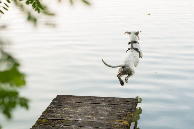 Dog jumping on pier over lake