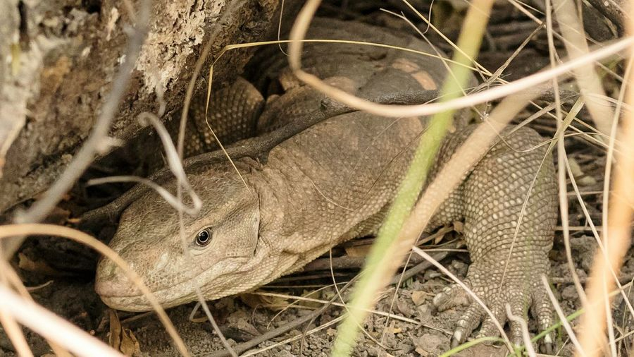 Close-up of indian monitor lizard