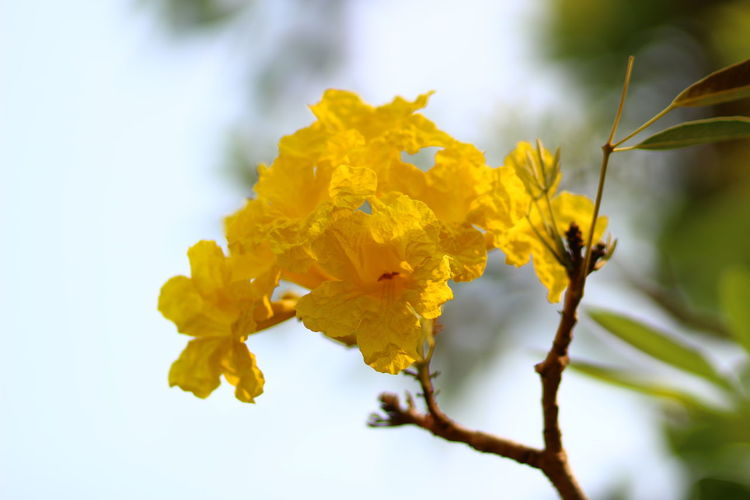 Beauty In Nature Blooming Blossom Botany Flower Focus On Foreground Freshness Nature Petal Plant Silver Trumpet Tree Tabebuia Aurea Tree Of Gold Yellow ดอกตาเบบูญ่า เหลืองปรีดียาธร First Eyeem Photo