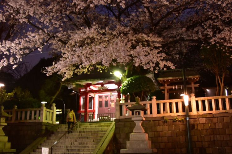 Night Views Nature Photography Flowers Snapshot Flower Collection Japan Colors Spring Flowers Snapshots 桜 Cherry Blossoms Yokohama Night View Nightscape Shrines & Temples