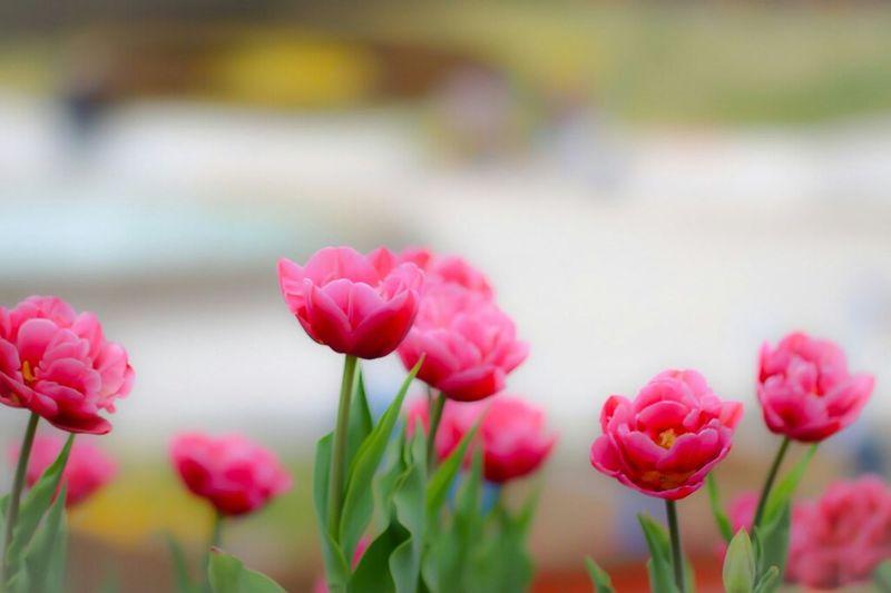 ちゅーりっぷ EyeEm Nature Lover Spring EyeEm Flower