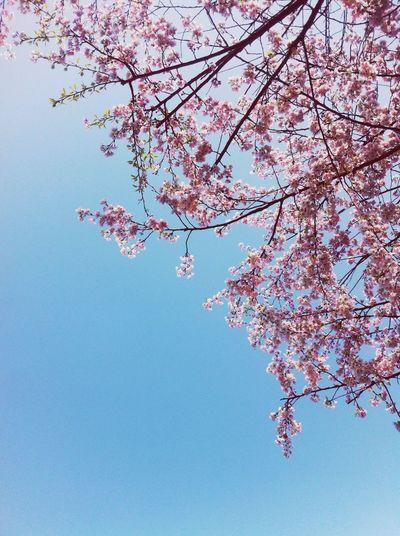봄을 기다리며 Cherry Blossoms Spring Sky