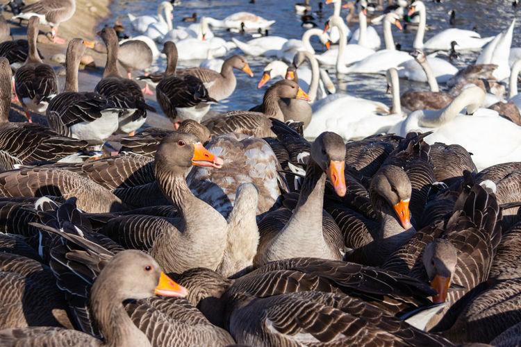 Group Of Animals No People Flock Of Birds Water Beak Lake Outdoors Bird Geese Swans