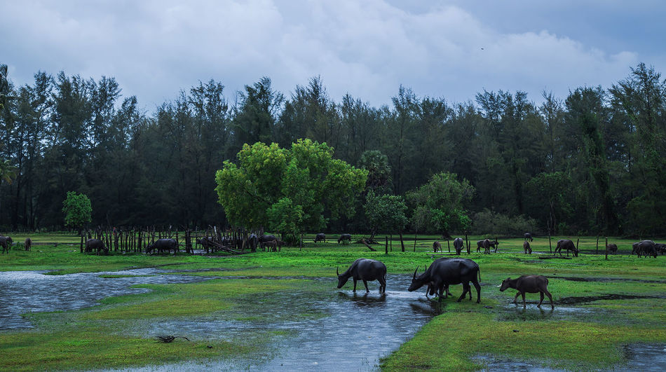 Tree American Bison Water Rice Paddy Farmer Rural Scene Agriculture Water Buffalo Cow Grazing
