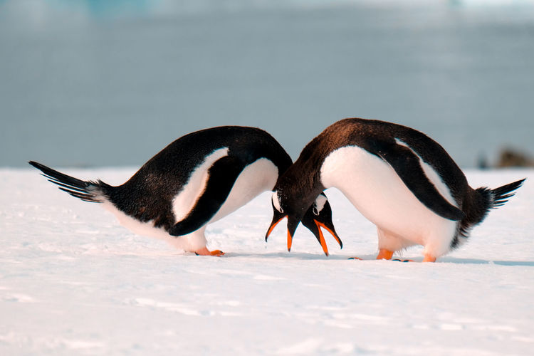 Close-Up Of Two Penguins