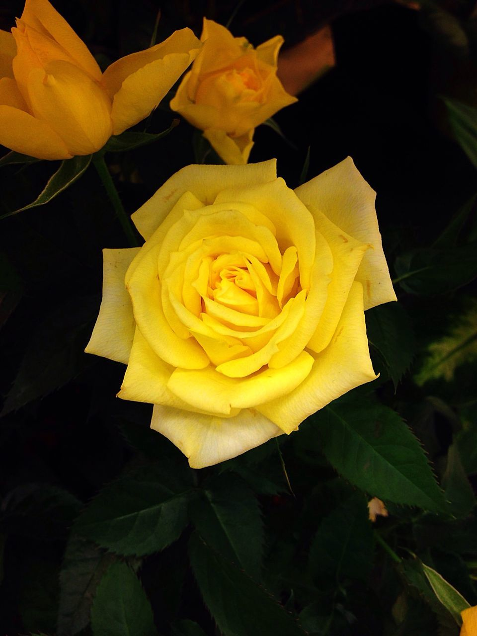 flower, petal, rose - flower, flower head, fragility, nature, beauty in nature, freshness, growth, plant, botany, close-up, leaf, yellow, no people, outdoors, soft focus, blooming, beauty, day
