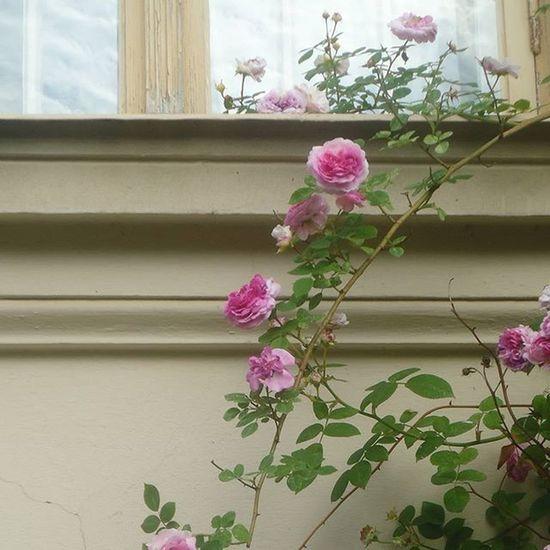 Roses Ruusuja Rosas Rosegarden Ruusutarha Tampere Tamperelove Visittampere Igerstampere