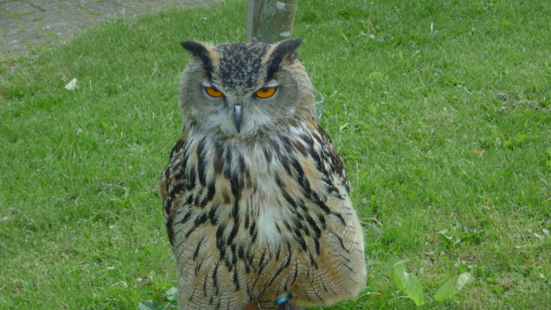 Alertness Bird Birds Of Prey Curiosity Eagle Owl  Feathers Looking At Camera Owl