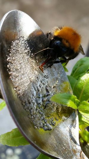 Outdoor Photography No Filter, No Edit, Just Photography Helping A Bee Feeding The Bee Sugar And Water Tired Bee Macro Photography Macro Insect  Bee Honey Bee Close-up Nature Photography Insects  Insect Photography Insect Paparazzi Details Of Nature Nature On Your Doorstep Bee Close Up Macro