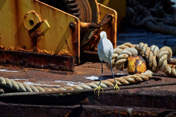 Snowy egret perching on steel cable by rusty boat