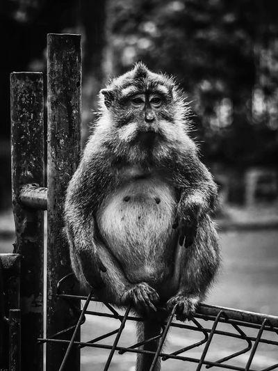 Close-up portrait of pug sitting on metal
