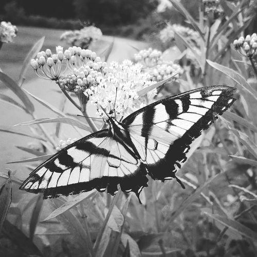 Eye4photography  Nature_collection Monarch Butterfly Butterflyporn Butterfly Naturelovers Black And White Blackandwhite Beautiful Nature Nature Photography