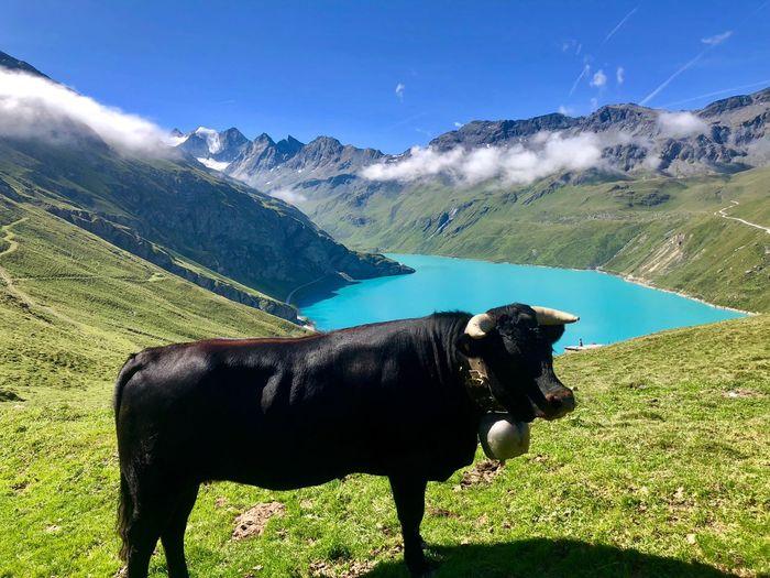 Blue Lakes Swiss Mountains Alps Swiss Alps Switzerland Valais EyeEm Nature Lover Mountainlake Moiry Valdanniviers Grimentz Cow Animal One Animal Nature Mountain Landscape Beauty In Nature