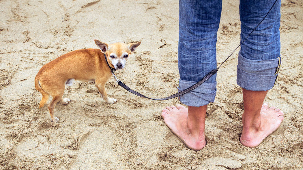 Adult Adults Only Chihuahua Day Dog Domestic Animals German Shepherd Human Body Part Human Leg Low Section Mammal Men One Animal One Man Only One Person Only Men Outdoors People Pets Sand Standing