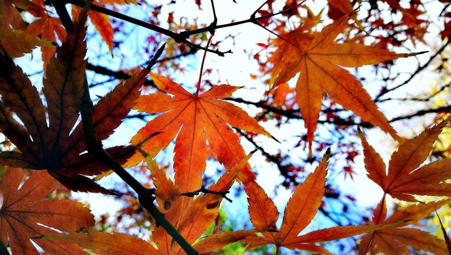🍁🍁 Morning Light Royal Botanic Gardens, Melbourne Autumn🍁🍁🍁 Dry Leaves Tree Branch Maple Leaf Leaf Autumn Change Maple Tree Sky Close-up Maple Fallen