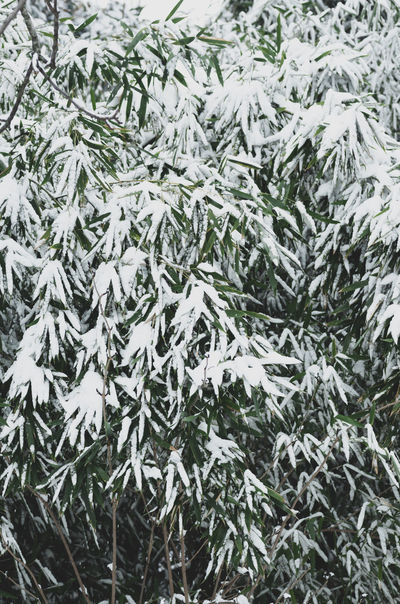 snow on bamboo foliage Winter Tree Nature Plant No People Snow Cold Temperature Full Frame Backgrounds Fir Tree christmas tree Day Coniferous Tree Beauty In Nature Pine Tree Close-up Branch Christmas Frozen Outdoors Needle - Plant Part Snowing