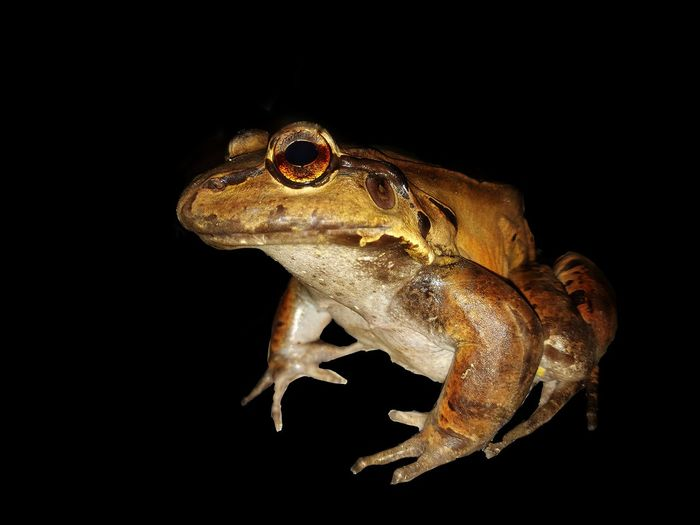 Close-up of frog over black background
