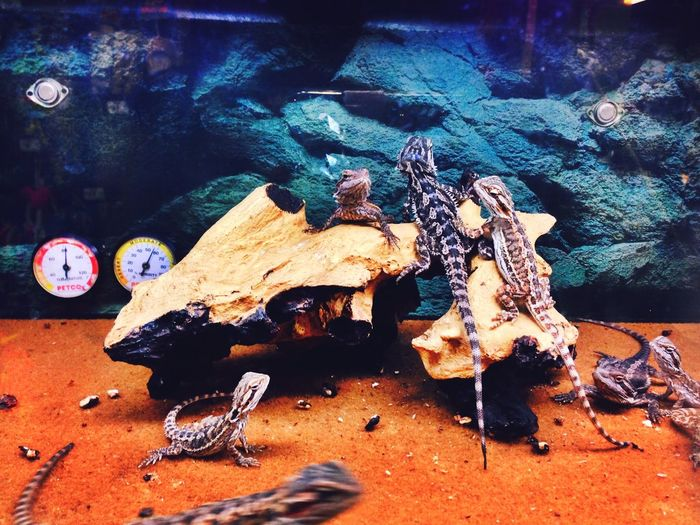 Color Photography Animals Lizards Pets