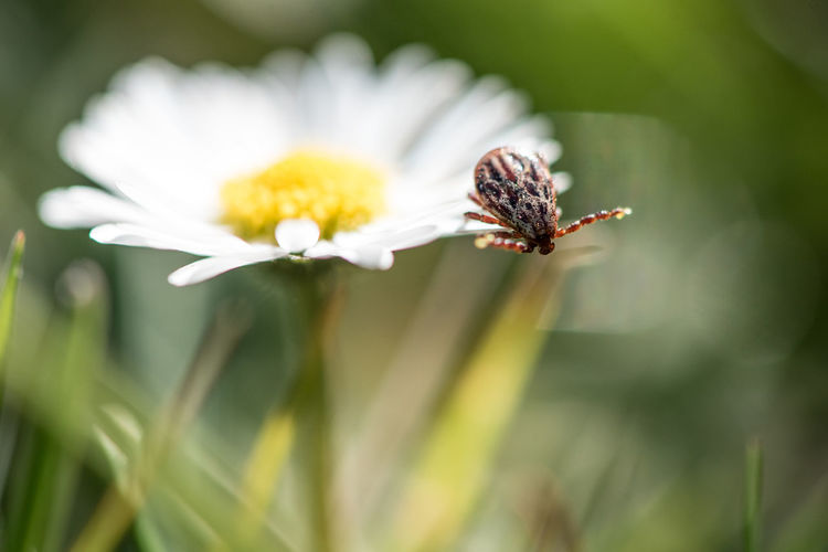 Close-up of honey bee on white flower