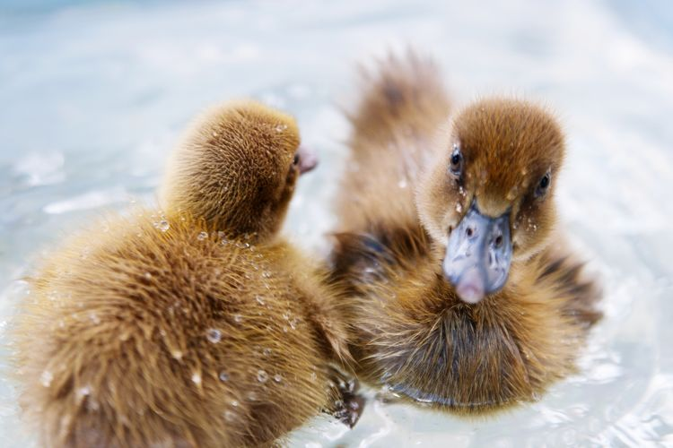Close-Up Of Ducklings In Water