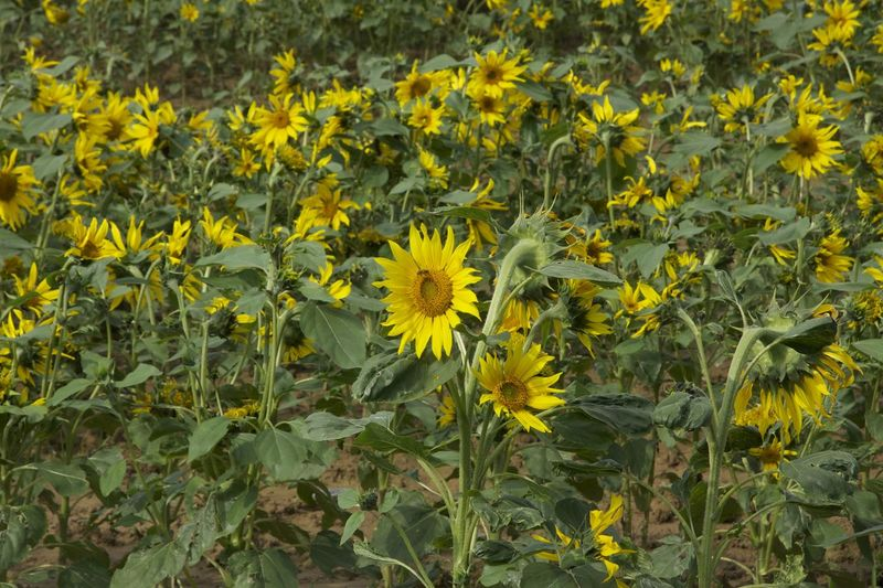 Bauty Beauty In Nature Blooming Day Field Flower France Nature No People Outdoors Plant Sunflower Yellow