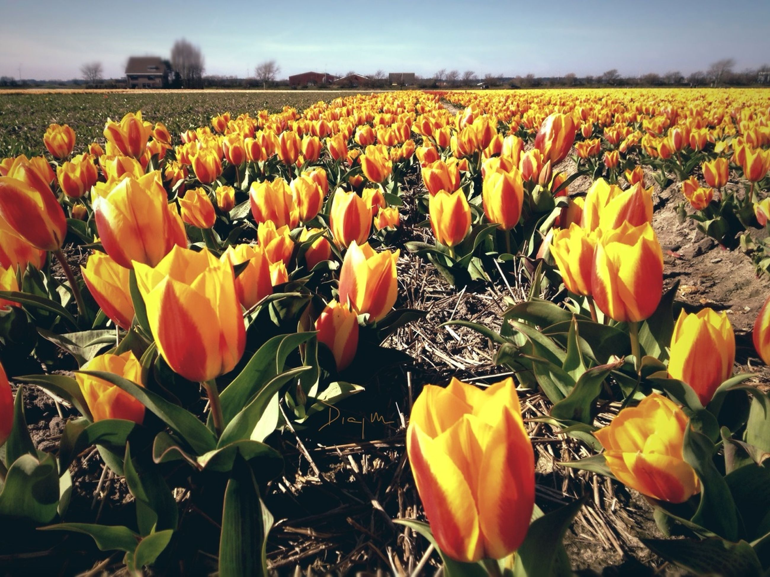 flower, freshness, field, tulip, growth, beauty in nature, agriculture, fragility, rural scene, abundance, nature, petal, yellow, blooming, plant, farm, flower head, flowerbed, landscape, orange color