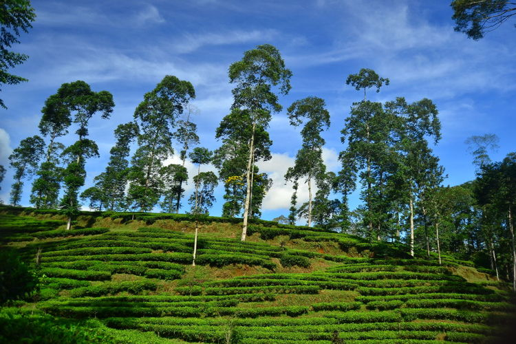 tea plantations on the highlands in one of the mountainous regions Green Color Tree Plant Sky Growth Beauty In Nature Landscape Land Scenics - Nature Cloud - Sky Nature Day Hedge Tea Crop Outdoors Tranquil Scene Agriculture Rural Scene No People Field Plantation Tea Tea Time Tea Garden