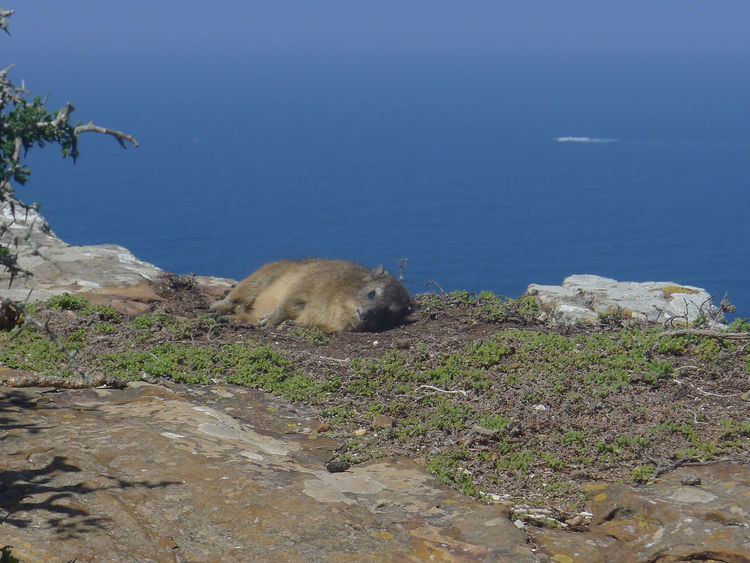 Animal Themes Animals In The Wild Beauty In Nature Cape Of Good Hope Dassie Day Klippschliefer Mammal Nature No People One Animal Outdoors Scenics Sea Water