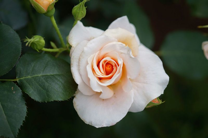 Close-Up Of Pale Pink Rose