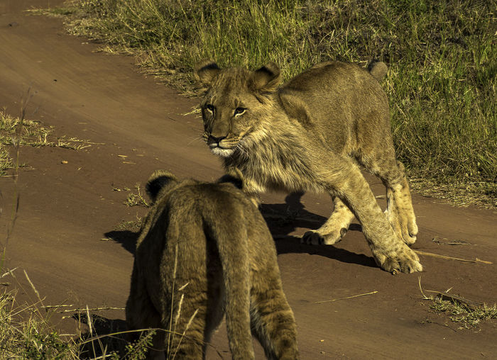 Game Drive Animal Animal Family Animal Themes Animal Wildlife Animals In The Wild Cat Cub Day Lion - Feline Mammal Nature No People Outdoors Safari Two Animals Young Animal