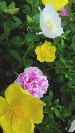 Moserose Flower Samsungphotography Galaxidi Greece InEyeEm
