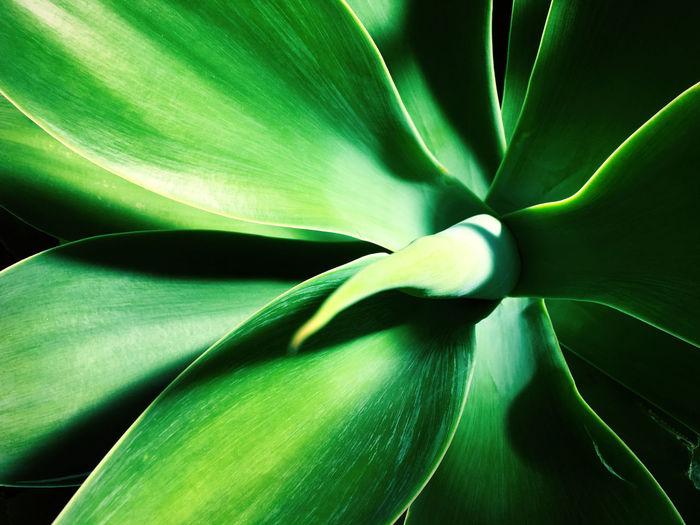 Full frame shot of agave plant
