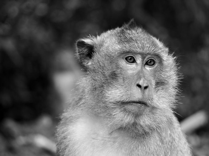 Monkey Portrait Thailand Koh Chang Blackandwhite