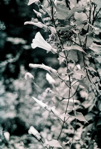35mmfilmphoto 35mmfilmphotography Film Macro Photography Nikon Nikon F3 Plants Beauty In Nature Blackandwhite Close-up Day Film Photography Flower Focus On Foreground Fragility Freshness Growth Macro Macro_collection Nature Nikonphotography No People Outdoors Plant Plant Part Selective Focus The Still Life Photographer - 2018 EyeEm Awards
