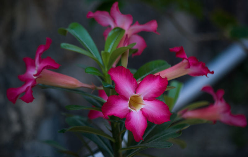 Kamboja Jepang Adenium Beauty In Nature Blooming Blossom Close-up Flower Flower Head Focus On Foreground Fragility Freshness In Bloom Kamboja Jepang Leaf Pink Pink Color Selective Focus