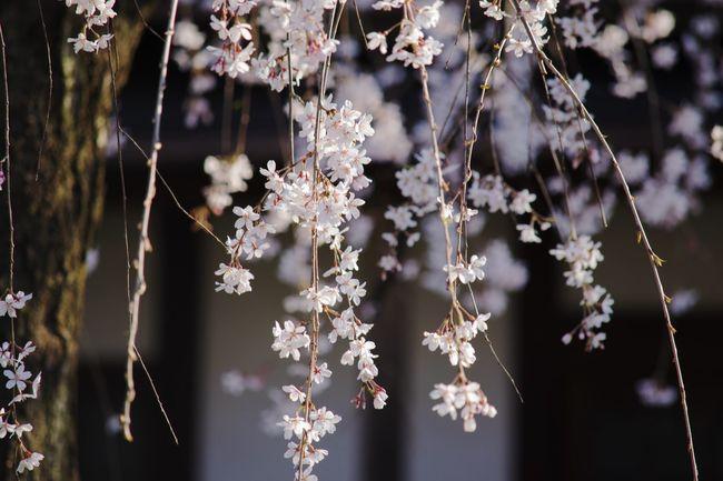 枝垂れ桜 Cherry Blossoms Temple Japan 桜 3月 京都 上品蓮台寺 EyeEm Japan EyeEmBestEdits EyeEm Best Shots Eyemphotography Sakura