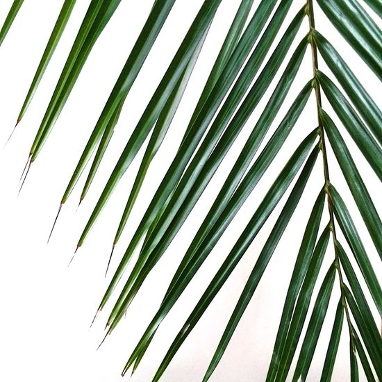 Leaf Nature White Background Plant Green Color Growth Close-up No People Frond Biology Low Angle View Palm Tree Tree Beauty In Nature Outdoors Day