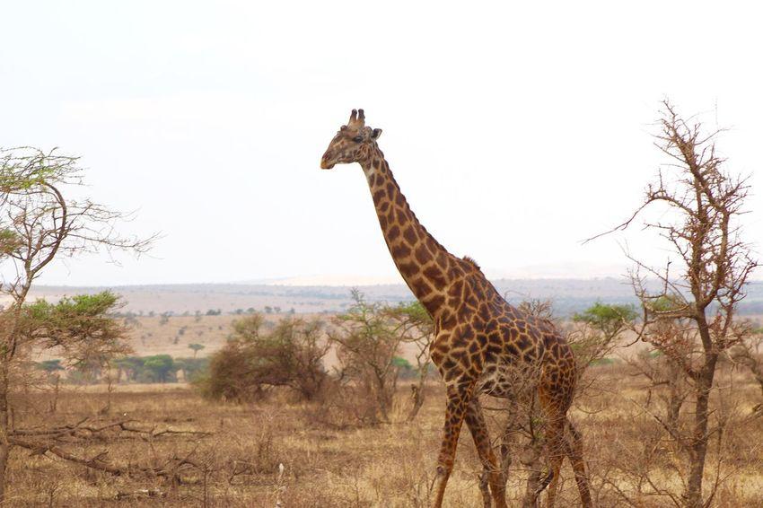 Animal Themes Animals In The Wild Day Giraffe Giraffe Growth Nature No People Non-urban Scene One Animal Outdoors Plant Remote Safari Scenics Serengeti Serengeti National Park Serengeti, Tanzania Sky Solitude Tall - High Tranquil Scene Tranquility Zoology