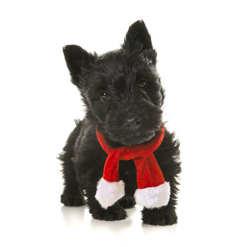 Cute black scottish terrier puppy walking towards the camera wearing a red and white christmas scarf on a white background Christmas Christmas Scarf Scottish Terrier Scottish Terrier Dog Scottish Terrier Puppy Standing Animal Themes Black Scottish Terrier Black Color Black Dog Cute Puppy Dog Looking At Camera One Animal Pets Puppy Studio Shot White Background