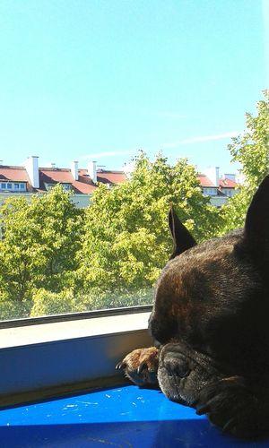 Relaxing Sunbathing Frenchbulldog Nieznosnalekkoscbytu
