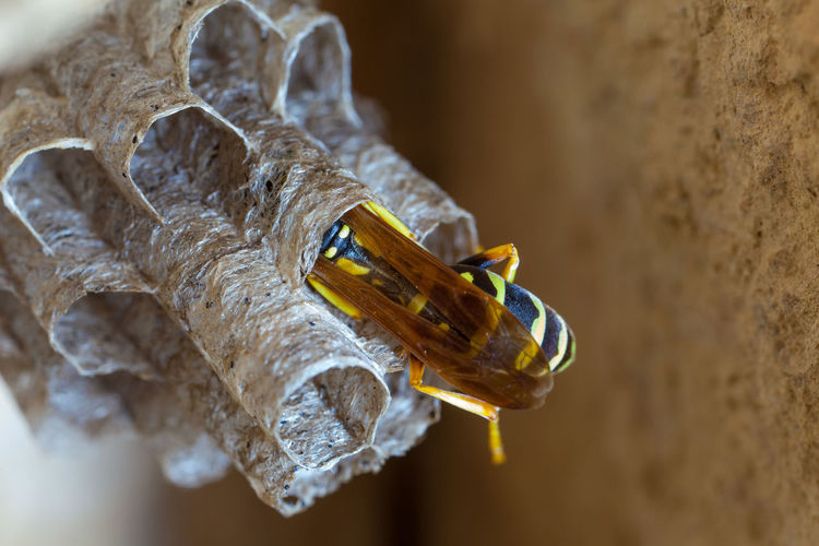 Paper Wasp building Nest Macro Photography Nesting Paper Wasp Animal Themes Animal Wildlife Animals In The Wild Beauty In Nature Close-up Day Focus On Foreground High Angle View Insect Macro Nature Nest No People Oculii One Animal Outdoors Paper Wasp Nest