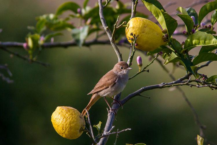 Close-up of bird perching on lemon tree