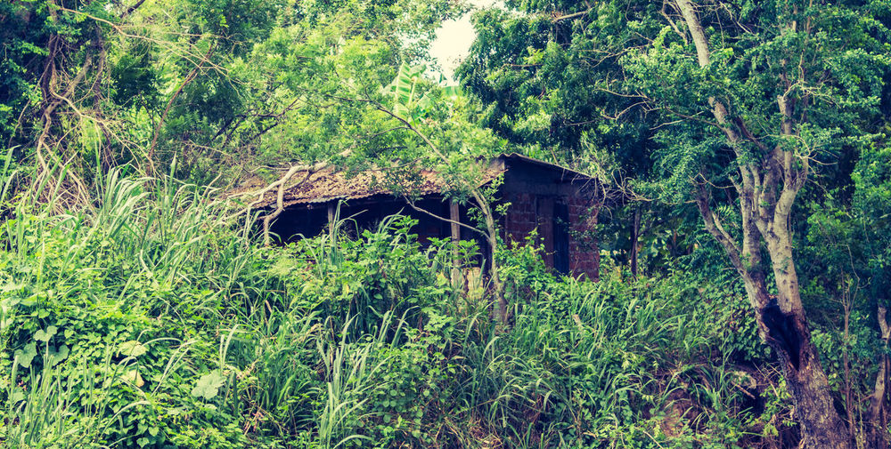 LAS TUNAS, CUBA - SEPTEMBER 04, 2017: A rundown shack is barely visible from the surrounding overgrown vegetation. Cuba Las Tunas Cuba Abandoned Architecture Building Building Exterior Built Structure Day Forest Green Color Growth House Land Landscape Nature No People Old Outdoors Plant Tranquility Tree Wood - Material