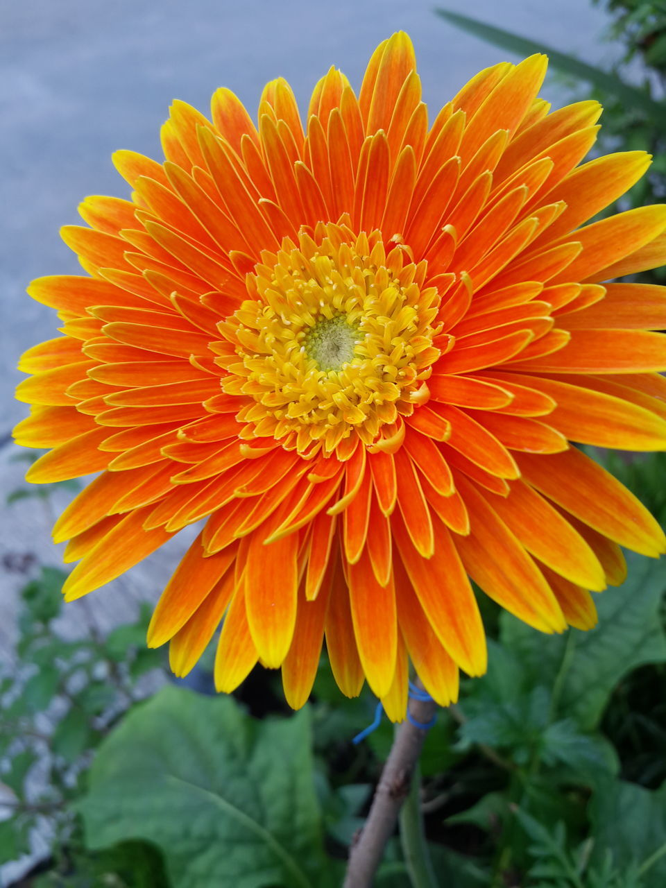 flower, petal, fragility, freshness, orange color, beauty in nature, flower head, nature, yellow, outdoors, close-up, growth, day, plant, focus on foreground, blooming, no people